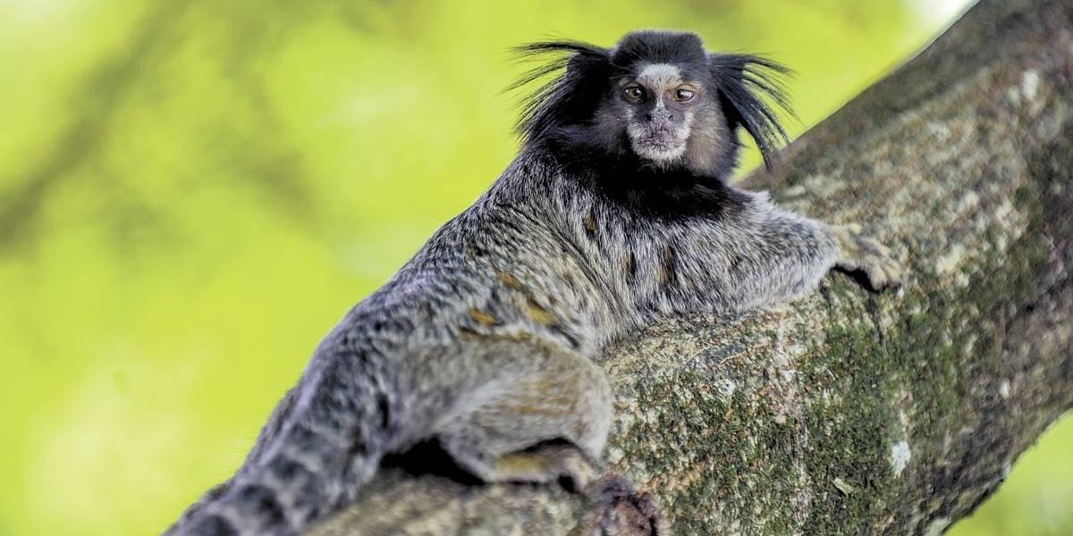 São Paulo tem 501 mortes de macacos por febre amarela