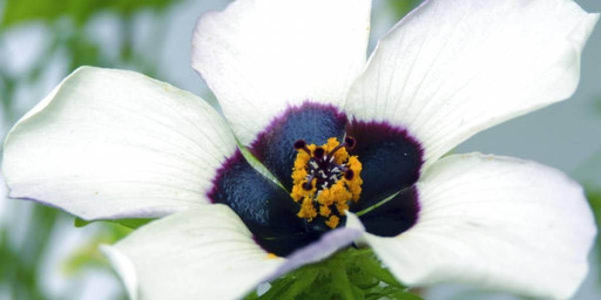 Flores crean halo azul para atraer abejas