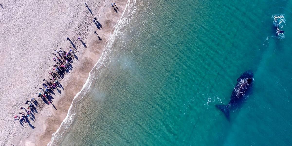 Visita récord de ballenas francas en la Patagonia argentina