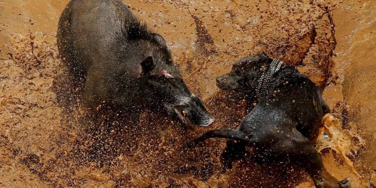 Adu Bagong, peleas entre jabalíes y perros en Indonesia