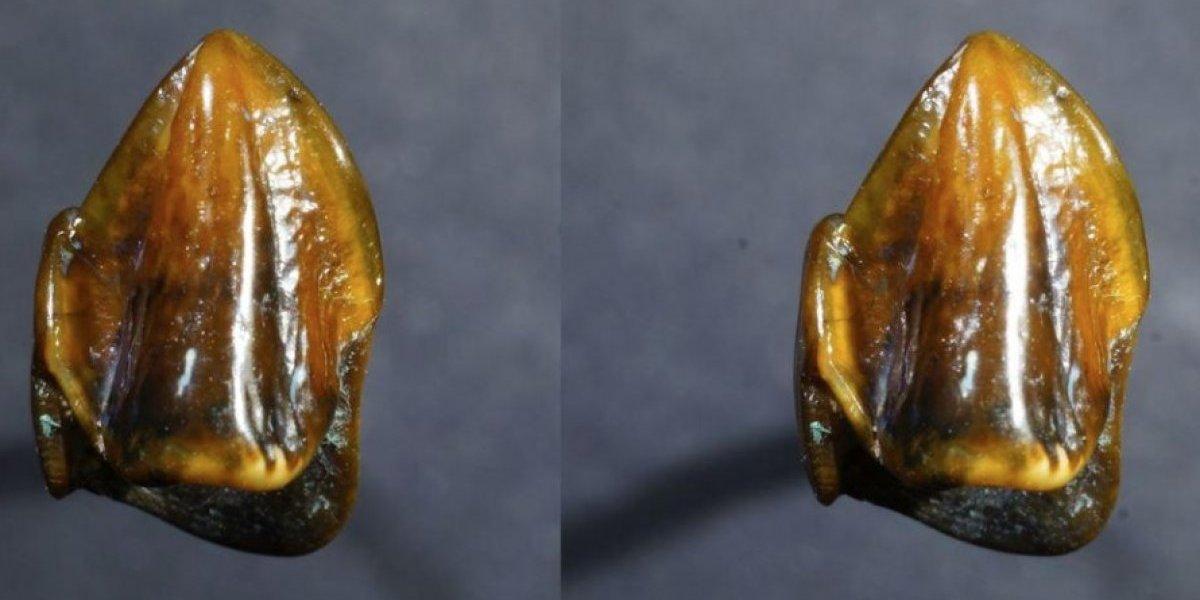 El misterioso diente que podría reescribir la historia del origen de la humanidad
