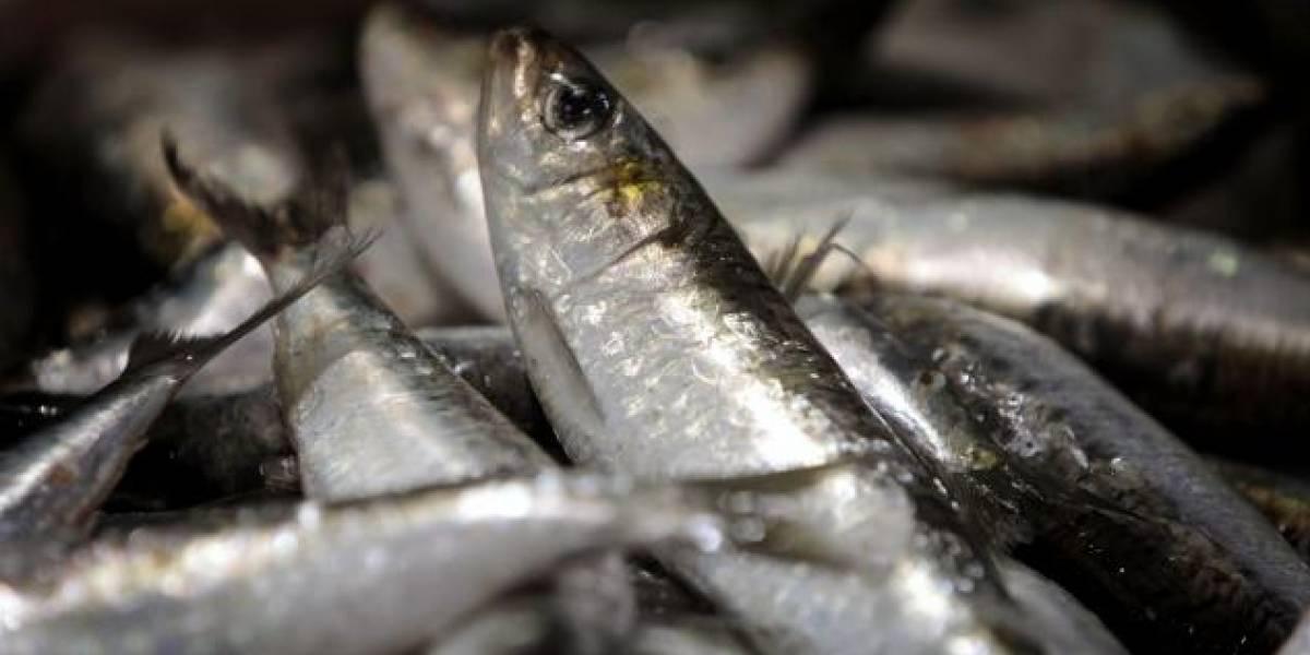 Científicos recomiendan vetar la pesca de sardina del Atlántico en 2018