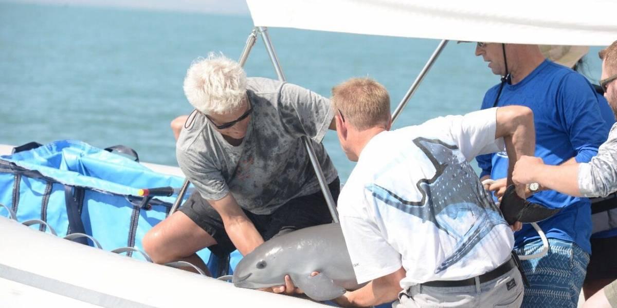 Rescatan a vaquita marina de aproximadamente seis meses