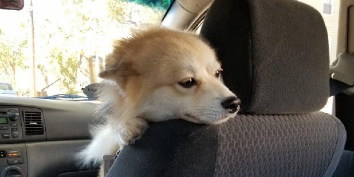 ¿El mejor Uber de la historia? chofer viaja con perrito de servicio como copiloto