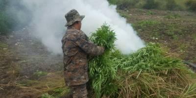 Soldados destruyen una plantación de marihuana en Petén