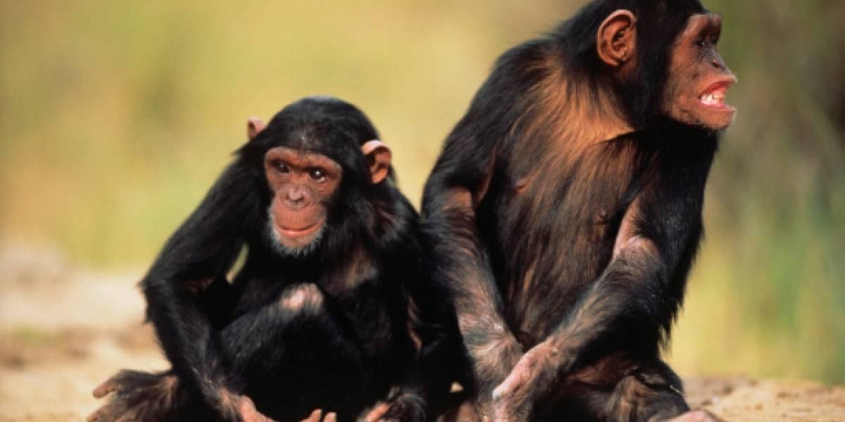 Los chimpancés tienen la misma personalidad durante décadas, según un estudio