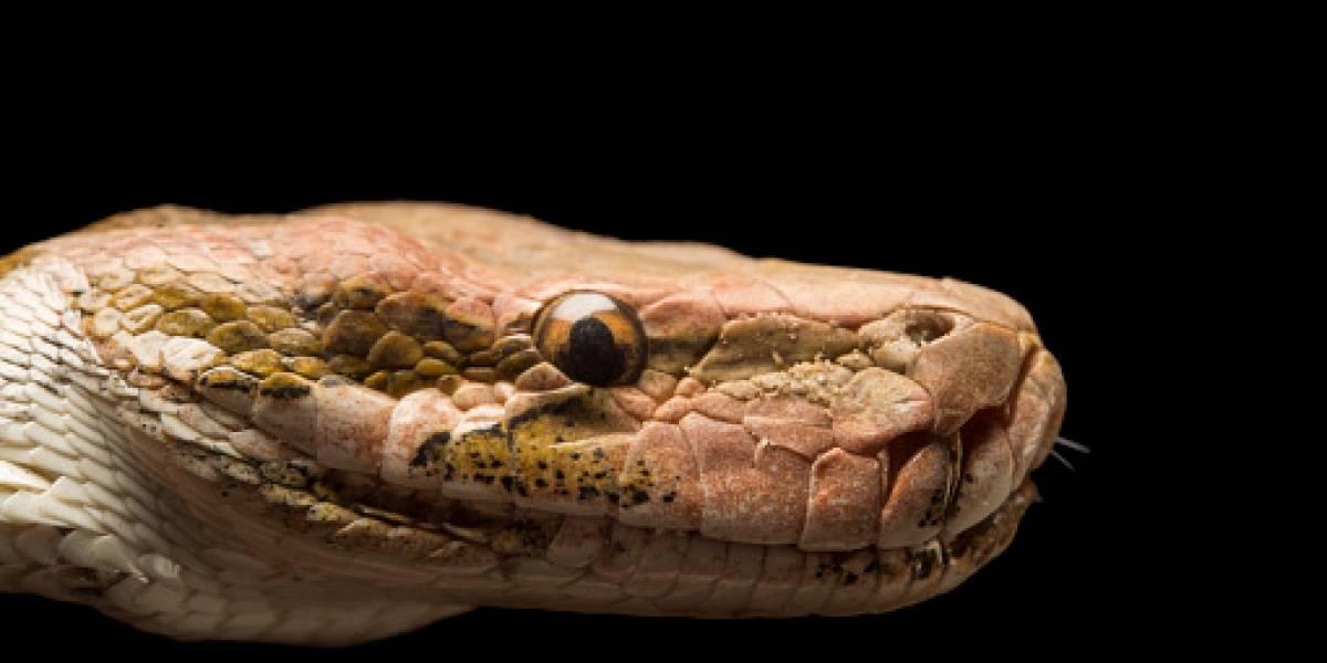 Científicos chinos logran criar serpiente rara en peligro de extinción