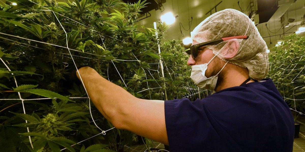 Pareja recibe 29 kilos de marihuana por error en compra por Internet
