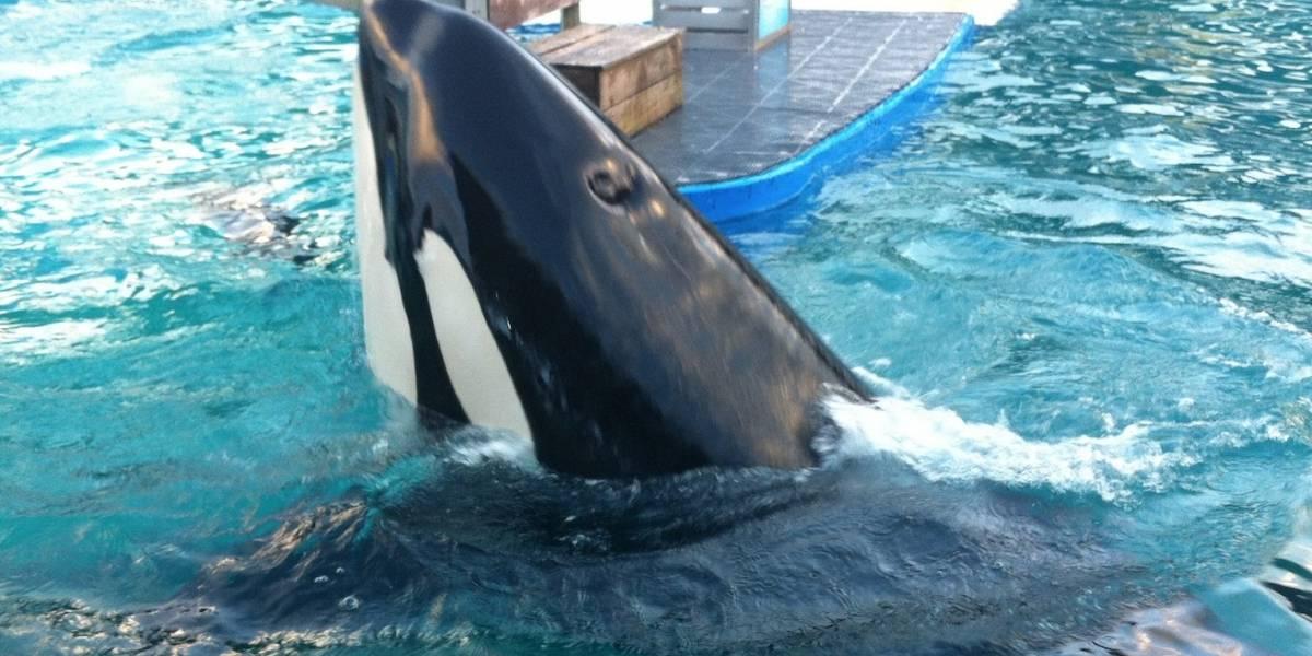 Alcalde de Miami Beach insta a liberar orca Lolita tras 47 años cautiva