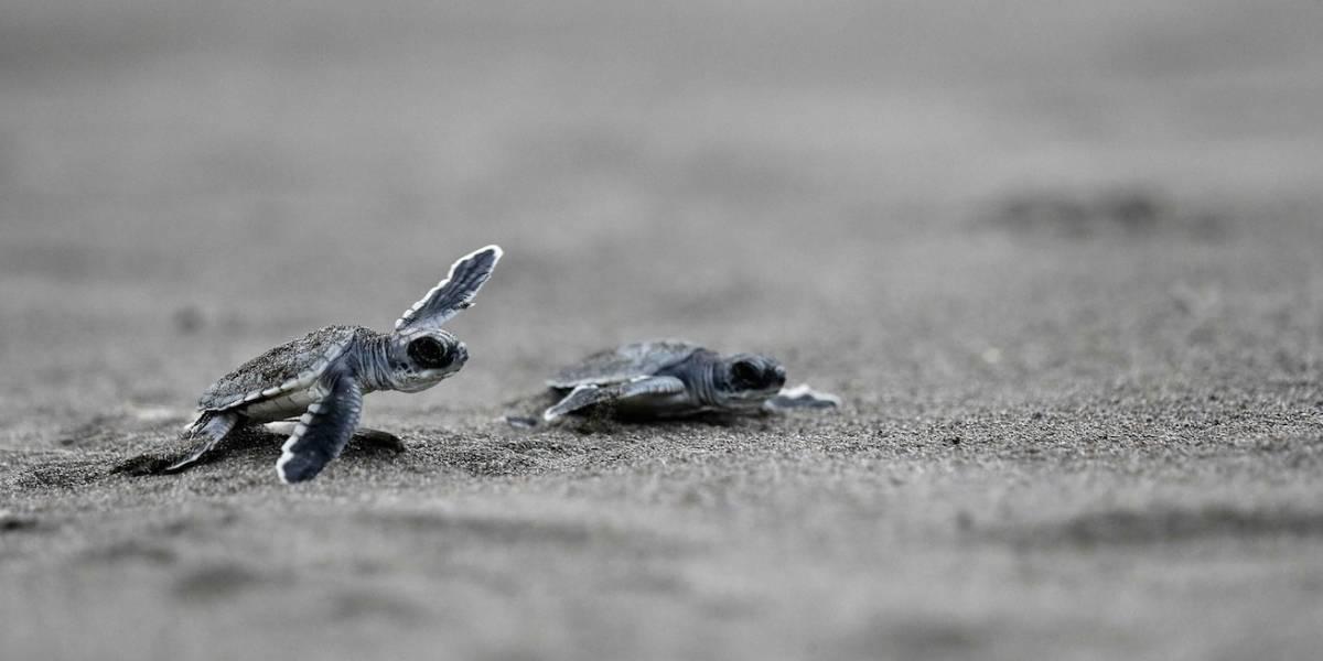 Liberan 150 tortugas de río y 30 babillas en el norte de Colombia