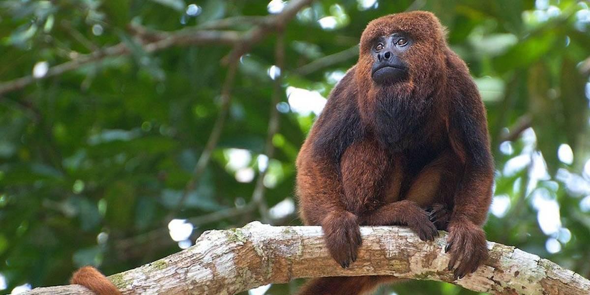Secretaria confirma morte de três macacos por febre amarela na capital paulista