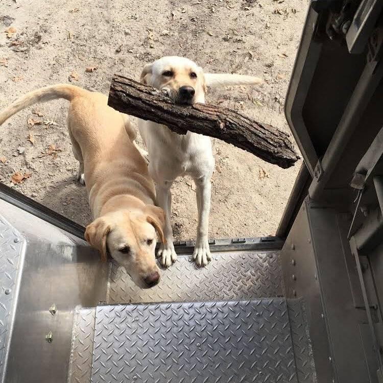Eles sempre trazem um graveto para brincar, seja ele grande ou pequeno Reprodução/Facebook/UPS DOGS