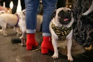 Pug, el accesorio de moda en Reino Unido
