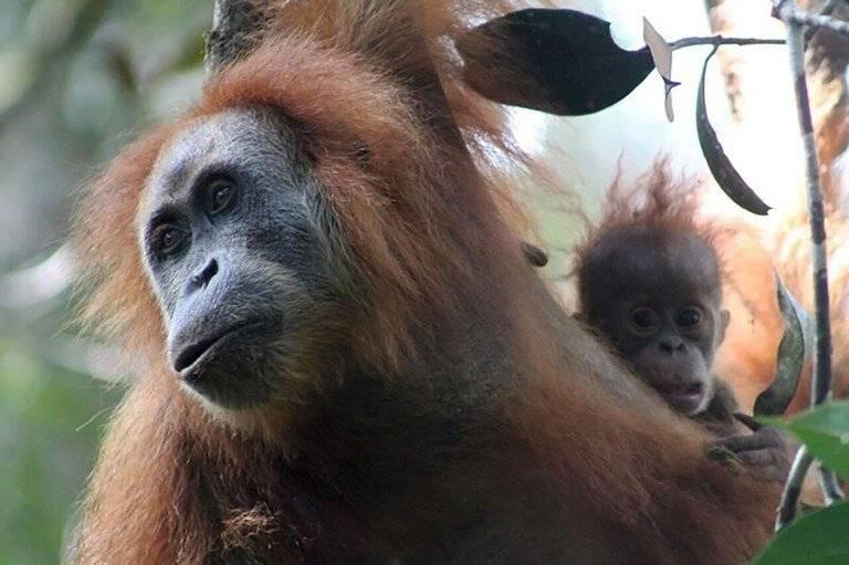 Nueva especie de orangután descubierta en Indonesia