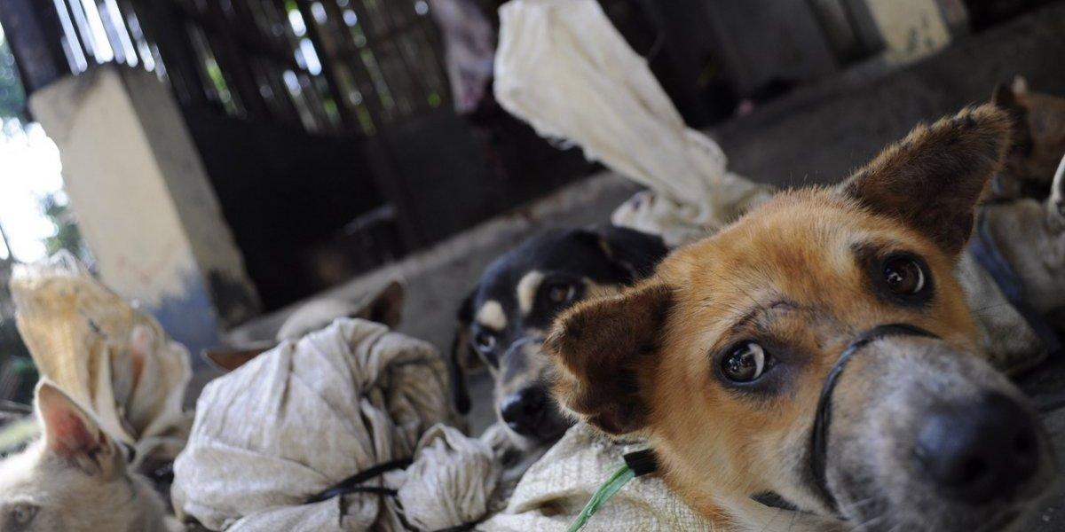 La imagen de un temeroso cachorro que refleja cómo es el comercio de carne de perro en Indonesia