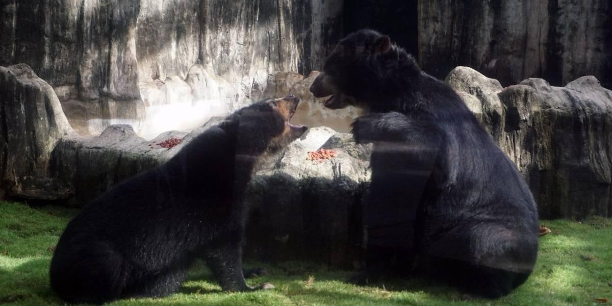 Buscan reproducir a pareja de osos de anteojos en Barranquilla