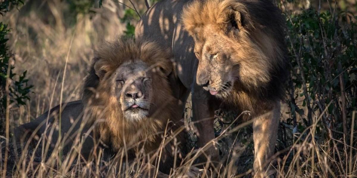 """""""Están poseídos por el demonio"""": Leones gay provocan escándalo en Kenia"""