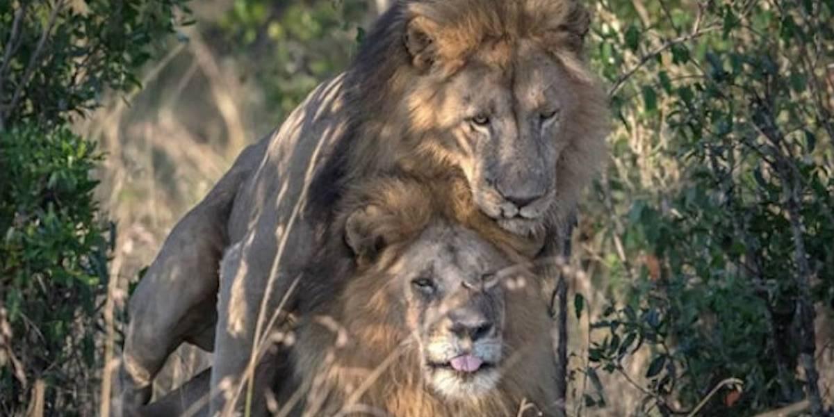 ¿Es la homosexualidad natural? Dos leones en Kenia causan polémica por esa razón
