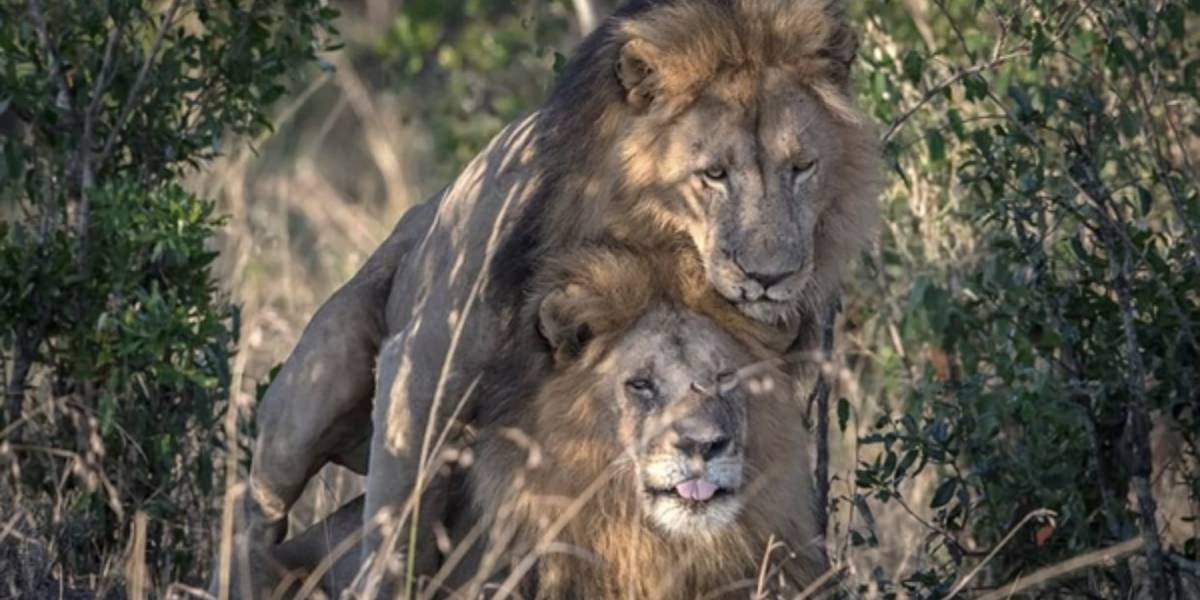 """Escándalo en Kenia: El Gobierno dice que dos leones están """"poseídos por el demonio"""""""