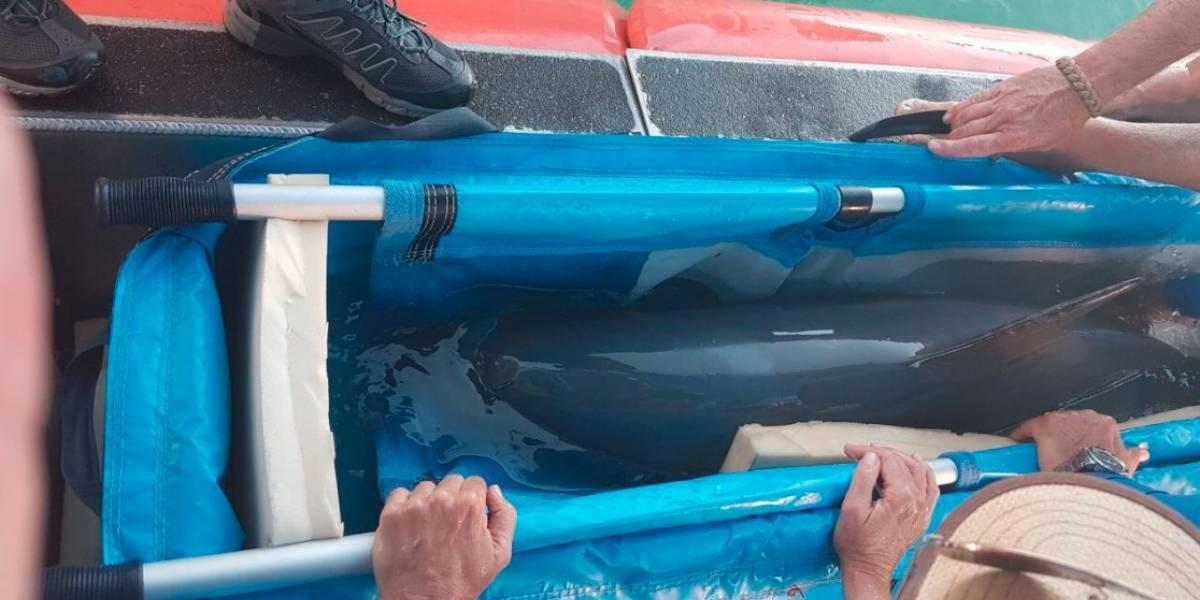 Fallece vaquita marina rescatada este sábado