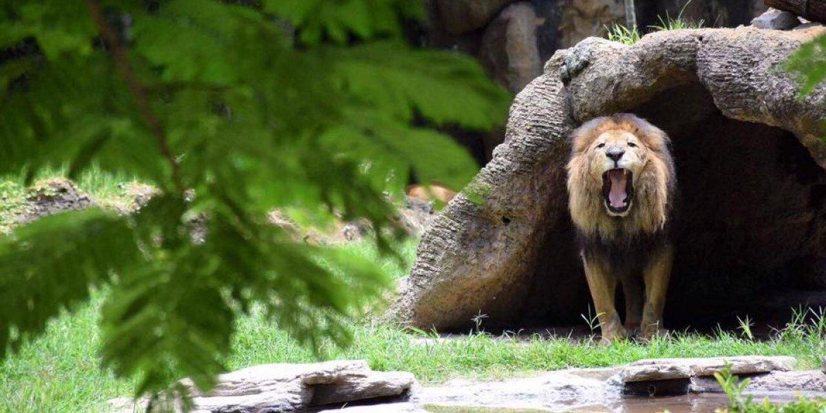 Carrera busca construir mejores recintos para los animales del Zoológico La Aurora