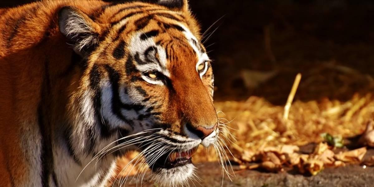 VIDEO. Tigre escapa durante show en circo y ataca al público