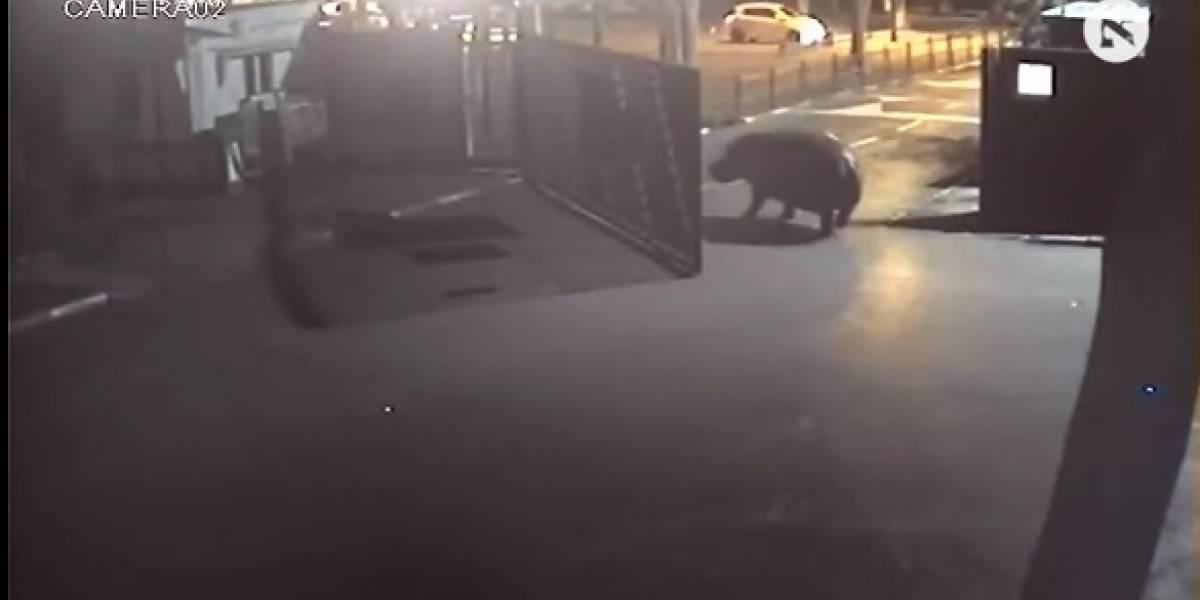 Hipopótamo foge de zoológico, mas volta apenas dois minutos depois; assista