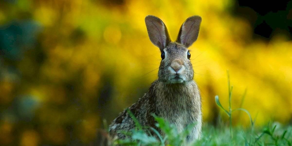 Surge nuevo virus mortal en Estados Unidos; ataca a conejos