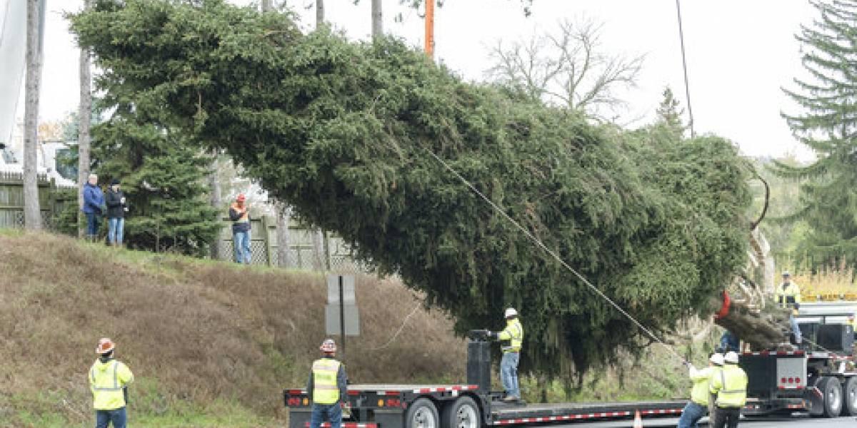 Árbol de Pensilvania adornará el Rockefeller Center
