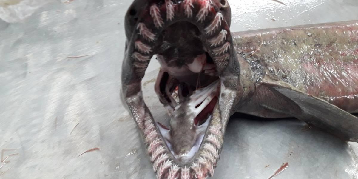 """El tiburón """"prehistórico"""" con 300 dientes que fue capturado por accidente"""