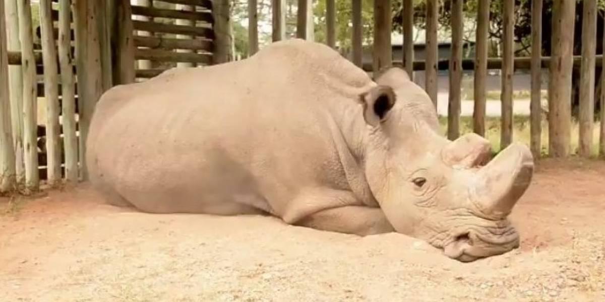 Esta es la cara de la extinción: la desgarradora y triste imagen del último rinoceronte blanco del norte que se volvió viral