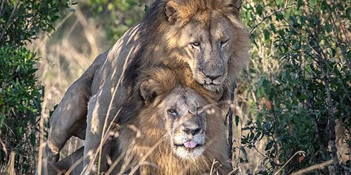 Kenia culpa a turismo gay de encuentro sexual entre leones