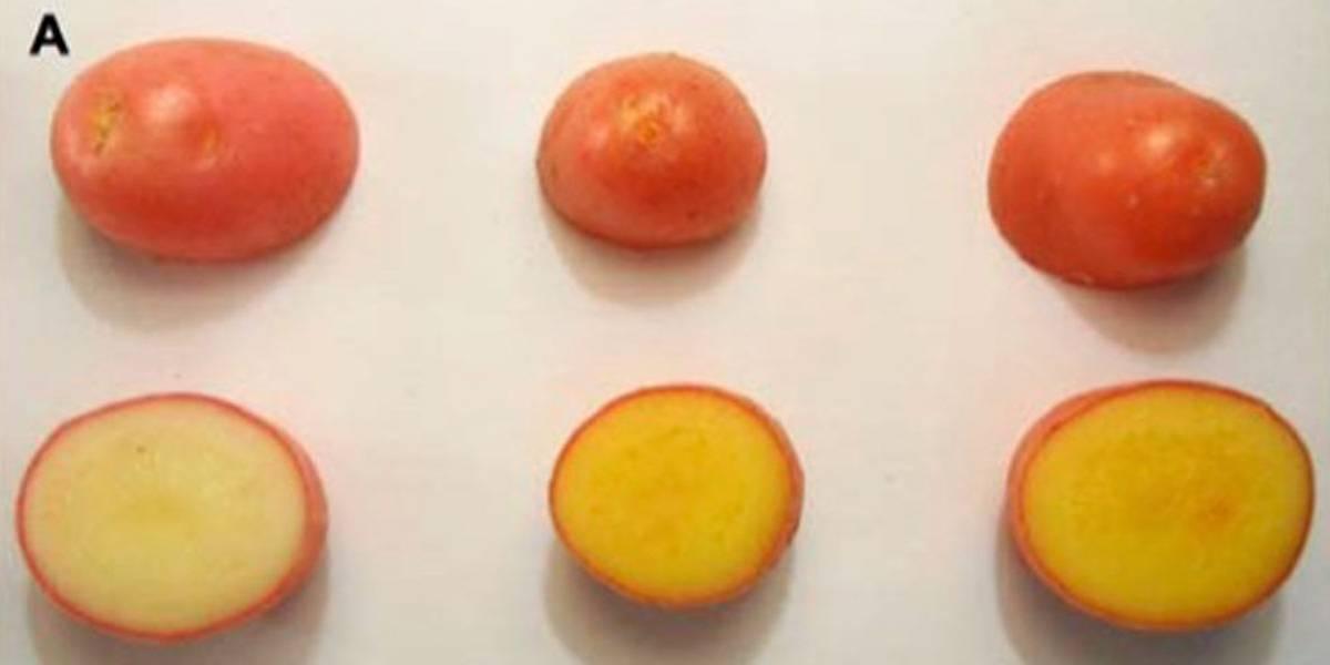 Batata dourada criada na Itália seria chave para prevenção de inúmeras doenças