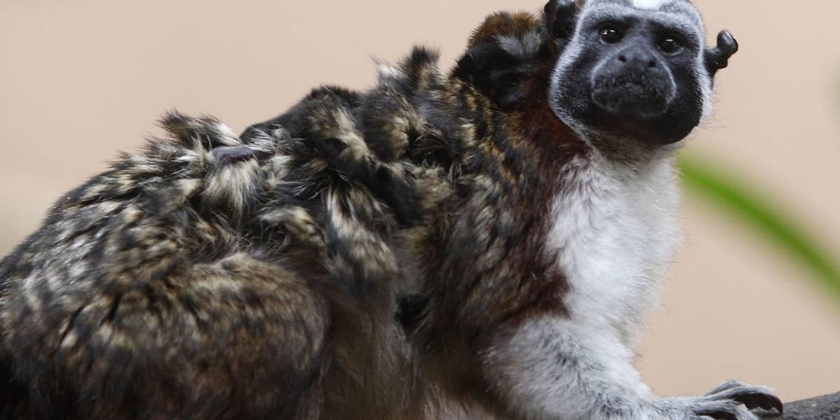 Nacieron en el zoológico de Medellín gemelos de mono tití panameño