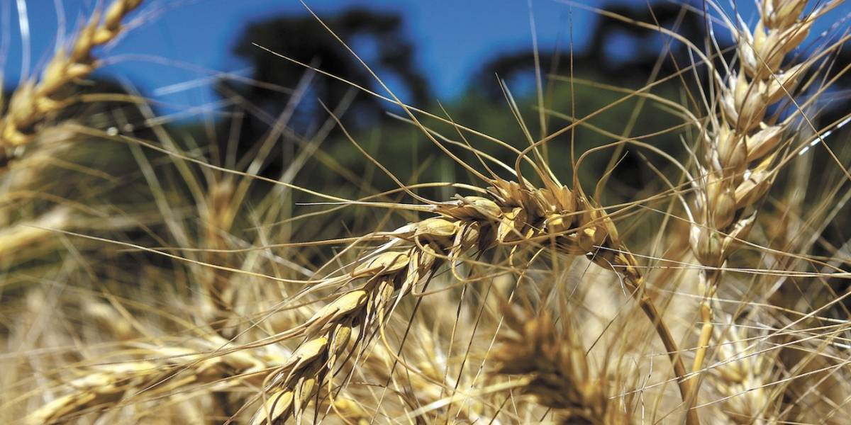 Cientistas editam genes e reduzem glúten em trigo; versão do grão é 85% menos nociva