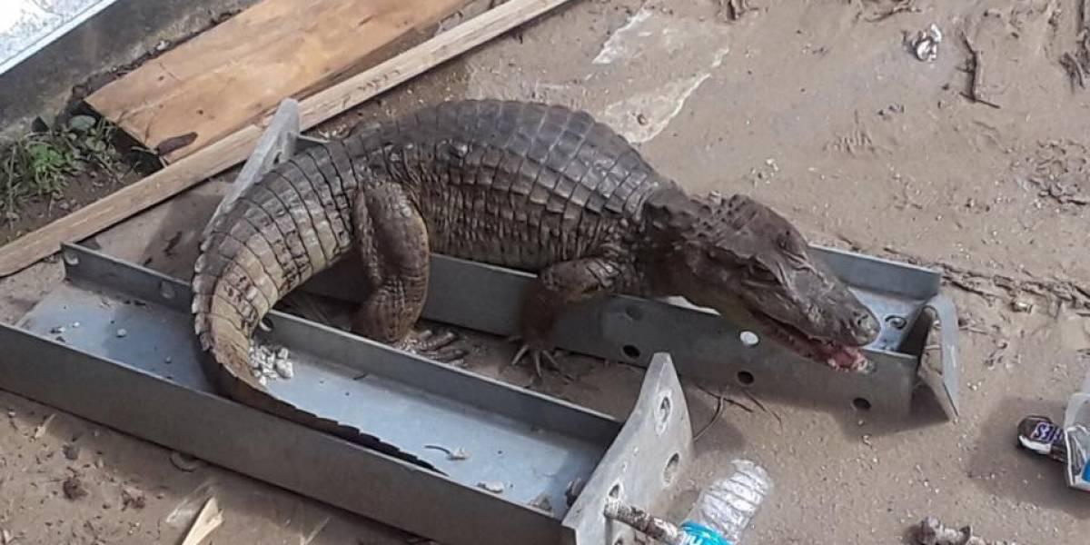 Capturan caimán en Puente la Virgencita