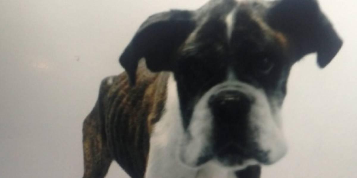 Su perrito tenía agresivo cáncer y sólo lo trató con paracetamol: arrestan a hombre por no llevar a su mascota al veterinario