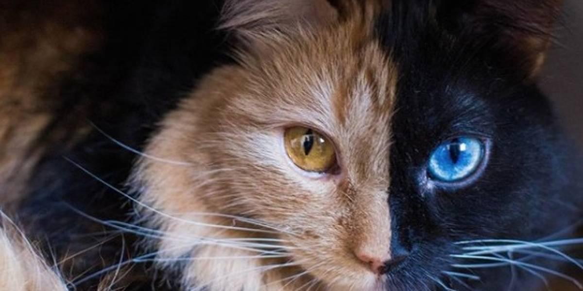 """¡Awww! La tierna y hermosa """"gatita de dos caras"""" que enamora a Instagram"""