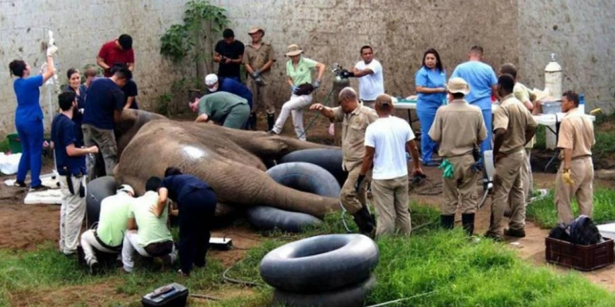 Elefante passa por cirurgia odontológica gigantesca