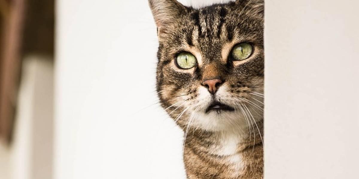 ¡Insólito! Un gato, sospechoso de un intento de asesinato en Japón