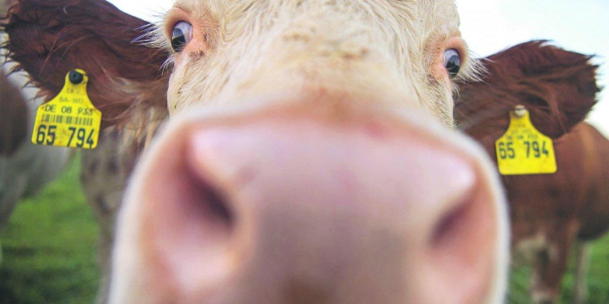 Los eructos y gases de una vaca, ¿son peligrosos para el medio ambiente?
