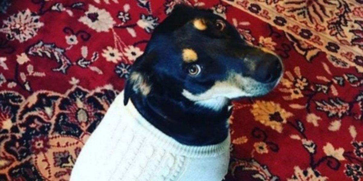 Cão finge estar doente para que seus donos fiquem em casa