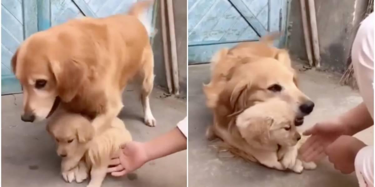 Es lo más tierno que verás hoy: la maravillosa reacción de una perrita cuando tratan de tocar a uno de sus cachorros