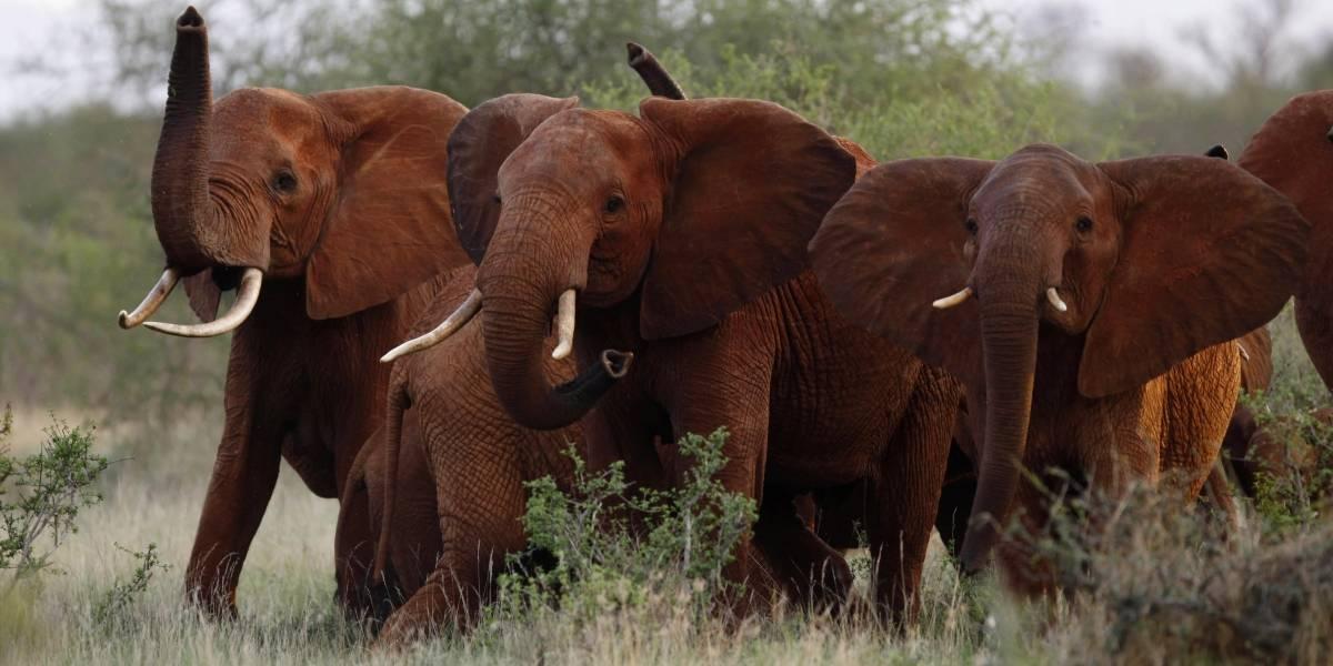 Trump revierte prohibición a importar trofeos de elefantes cazados en África