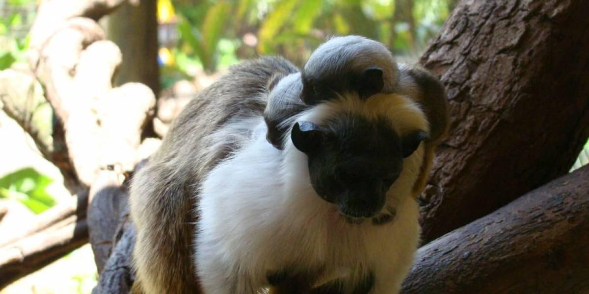 Cidade no interior de São Paulo registra primeiros filhotes de sagui ameaçado de extinção