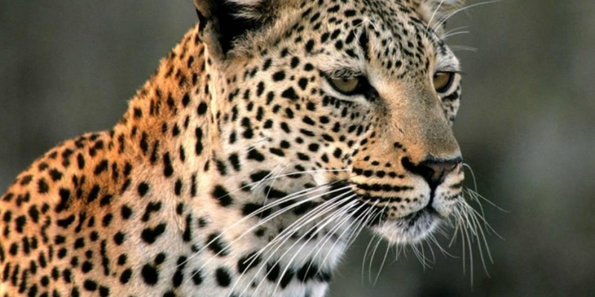 Homem cria leopardo em apartamento e o leva para passear; assista