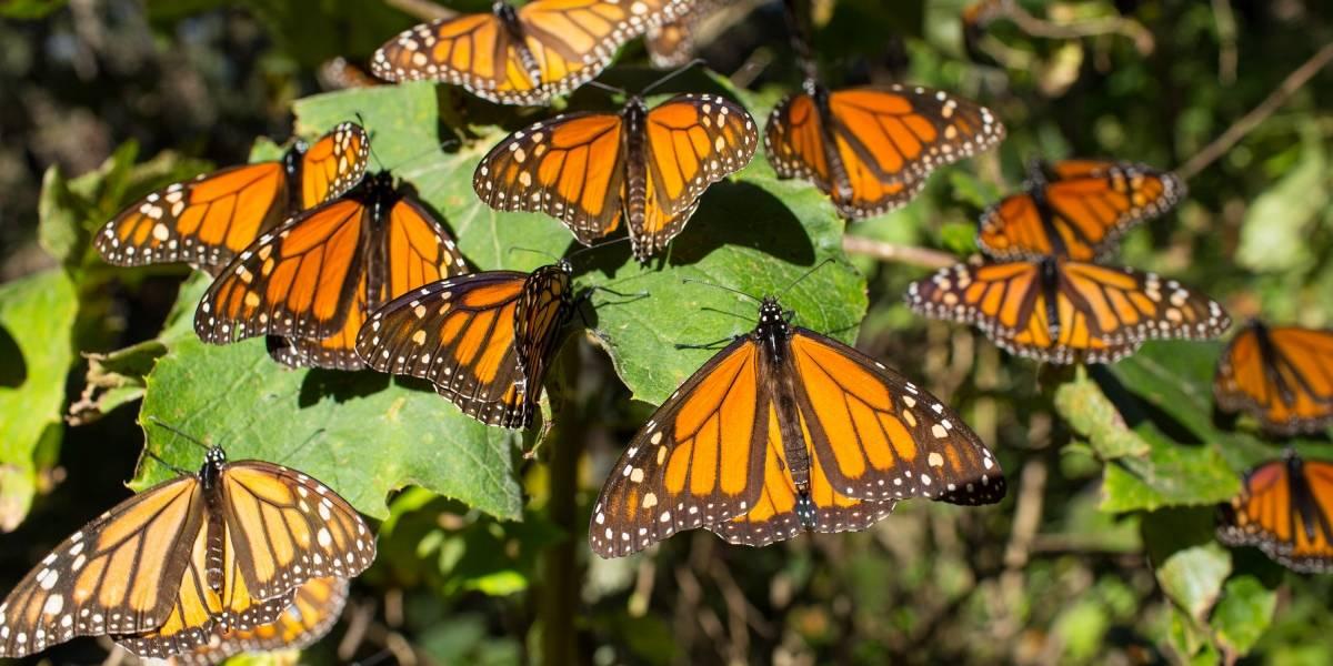 Michoacán y Edomex listos para dar la bienvenida a las mariposas monarcas