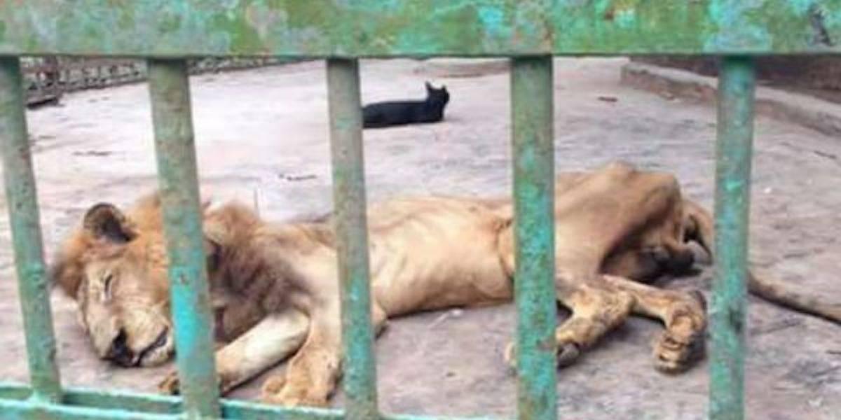 Video: Zoológico exhibe león a punto de morir y 'en los huesos'