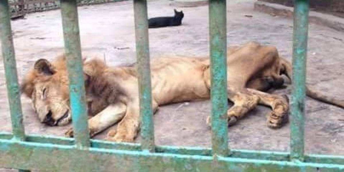 Indignación: está enfermo y en los huesos, sin embargo zoológico en Bangladesh sigue exhibiendo a león moribundo