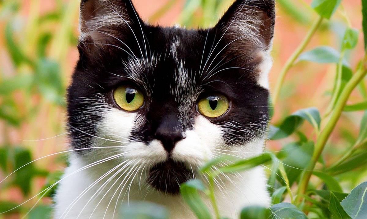 manchas gato